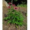 Echinacea purpurea Jeżówka purpurowa