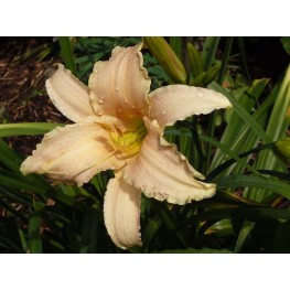 Hemerocallis Luxury Lace Liliowiec