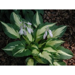 Hosta Christmas Candy Funkia