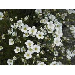 Minuartia laricifolia Mokrzyca modrzewiolistna