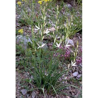 Anthericum liliago Pajęcznica liliowata
