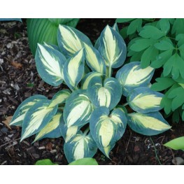Hosta High Society Funkia