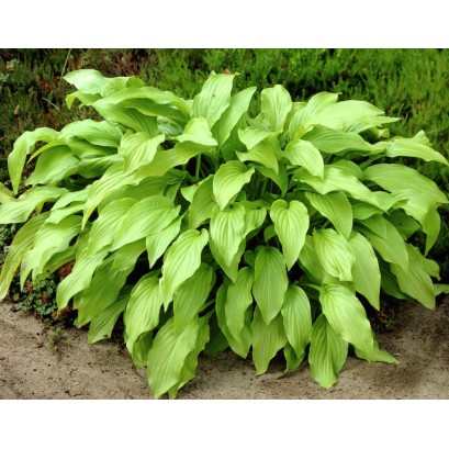 Hosta Honey Bells Funkia
