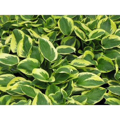 Hosta Twilight Funkia