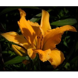 Hemerocallis Living in Amsterdam Liliowiec