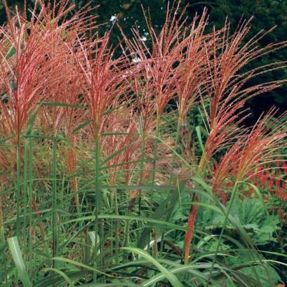 sinensis Purpurascens