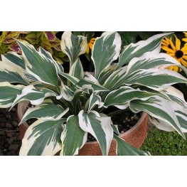 Hosta Bight Star Funkia