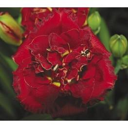 Hemerocallis Ruby Corsage Liliowiec