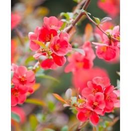 Chaenomales Pink Trail Pigwowiec