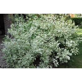Cornus Alba Elegantissima Dereń Biały