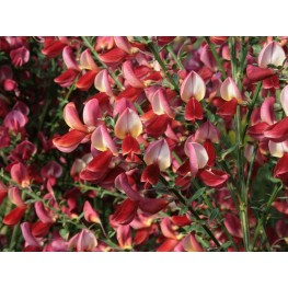 Cytisus Roter Favorit Żarnowiec