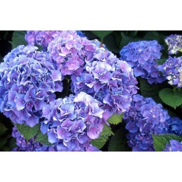 Hydrangea Macrophylla Early Blue Hortensja Ogrodowa
