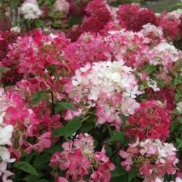 Hydrangea Paniculata Diamant Rogue Hortensja Bukitowe