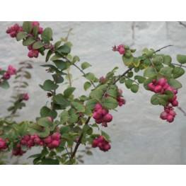Symphoricarpos x Dorenbosii Magic Berry Śnieguliczka