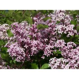 Syringa Meyerii Palibin Lilac