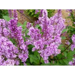 Syringa Reflexa Royalty Lilac
