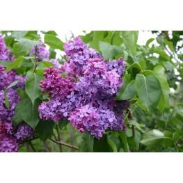 Syringa Vulgaris Congo Lilac