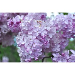 Syringa Vulgaris Esther Staley Lilac