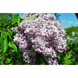 Syringa Vulgaris General Pershing Lilac