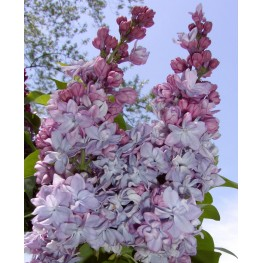 Syringa Vulgaris Katherine Havemeyer Lilac