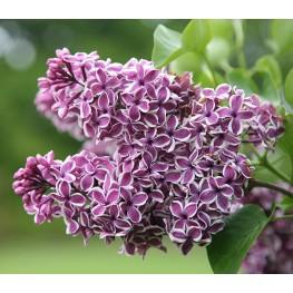 Syringa Vulgaris Sensation Lilac