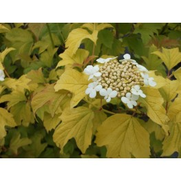 Viburnum Opulus Annys Magic Gold Kalina