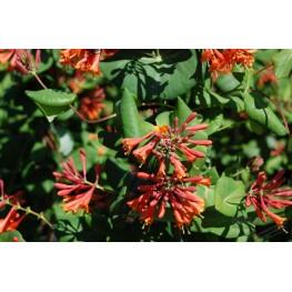 Lonicera Drupmore Scarlet wiciokrzew