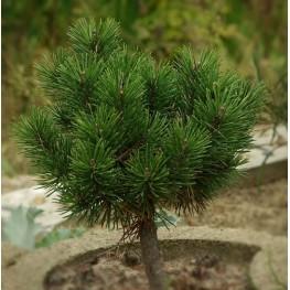 Pinus mugo Minikin Sosna kosodrzewina Minikin