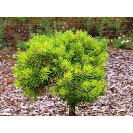 Pinus mugo grune Welle Sosna kosodrzewina Grune Welle