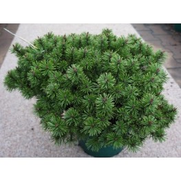 Pinus mugo Humpy Sosna kosodrzewinaHumpy