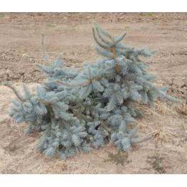 Picea pungens Glauca Pendula Świerk kłujący Glauca Pendula