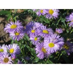 Erigeron specious Azure Beauty Przymiotno okazałe Azure Beauty