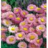 Erigeron specious Rose Jewel Przymiotno okazałe Rose Jewel