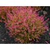 Calluna vulgaris Bonita wrzos pospolity