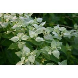 Pycnanthemum pilosum Mountain Mint Mięta górska
