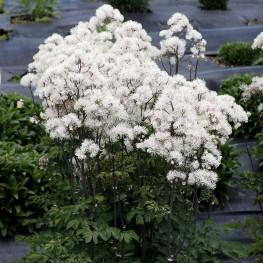Thalictrum Nimbus White Rutewka
