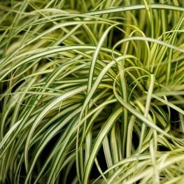 Carex oshimensis Evergold Turzyca