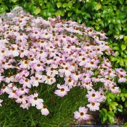 Coreopsis Bloomsation Chameleon Nachyłek