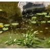 Alisma Plantago aquatica Żabieniec babka wodna