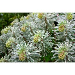 Euphorbia Glacier Blue Wilczomlecz