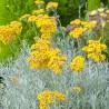 Helichrysum angustifolia Tall Curry Kocanka