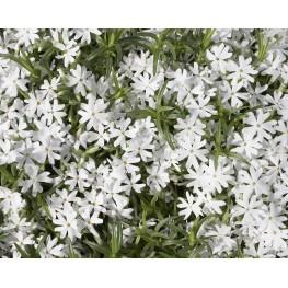 Phlox subulata Snowflake Floks