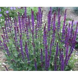 Salvia nemorosa Caradonna Szałwia wspaniała