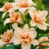 Hemerocallis Double Dream Liliowiec