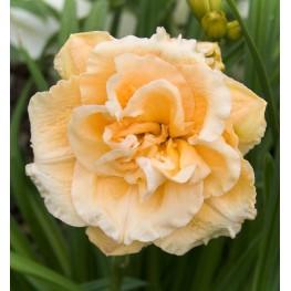 Hemerocallis Ikebana Star Liliowiec