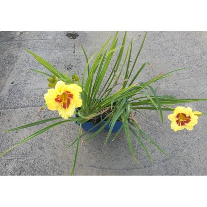 Hemerocallis Mini Polka Liliowiec