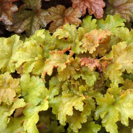 Heuchera x. Amber waves Żurawka