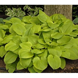 Hosta August Moon Funkia