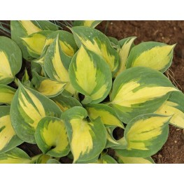 Hosta Beach Boy Funkia