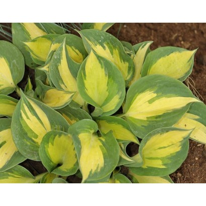 Hosta Beach Boy